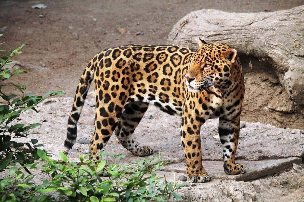 Jaguar im Loro Park