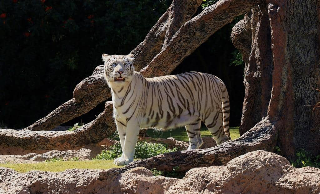 Weißer Tiger im Loro Park